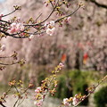 Photos: 神池に垂れる桜