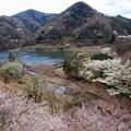 湖畔に咲くサクラ
