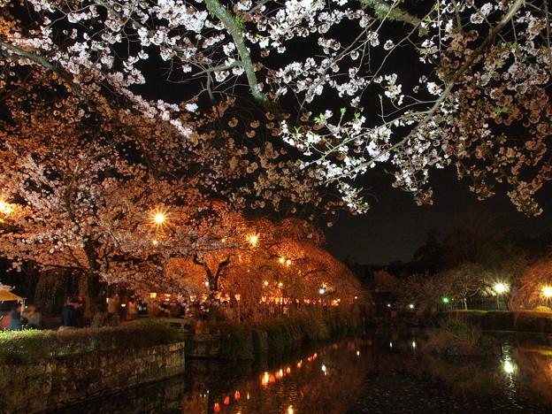 神池を覆う夜桜