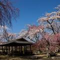 桜に覆われた東屋