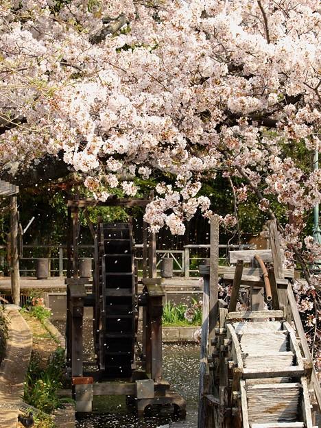 散りし桜、水車の元へ