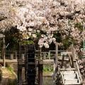 Photos: 散りし桜、水車の元へ