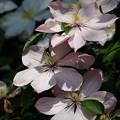 Photos: 三段咲き