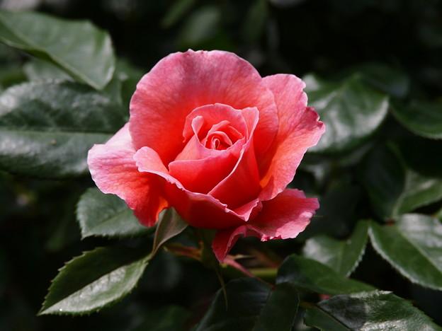 色付いた春薔薇