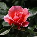 Photos: 色付いた春薔薇