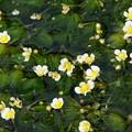 三島梅花藻はこれからが旬