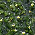 せせらぎにそよぐ梅花藻