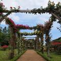 Photos: 初夏の青空と薔薇の香りと