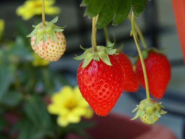 熟した果実