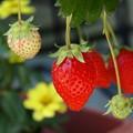 Photos: 熟した果実