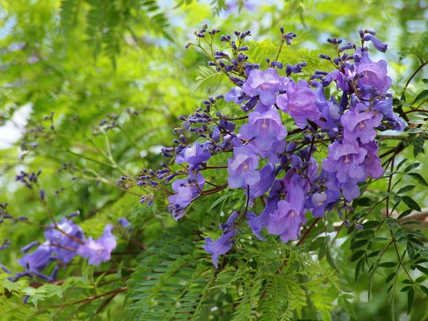 ジャカランダの咲く季節
