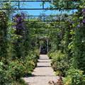 Photos: クレマチス咲くアーチの向こう側