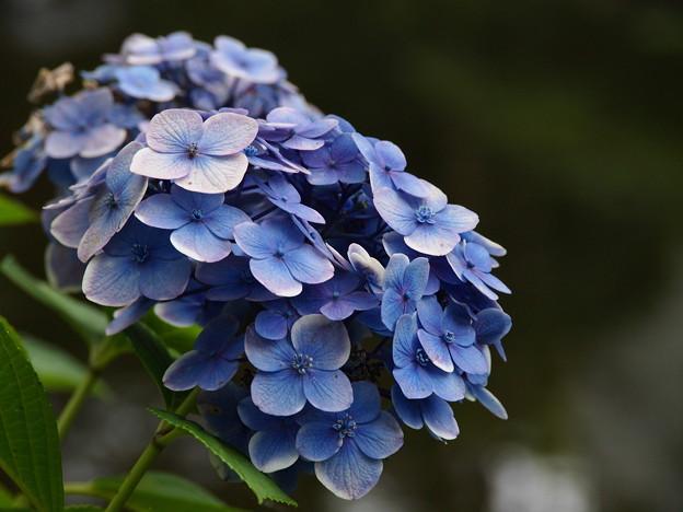 水辺に咲く紫陽花 in 白滝公園