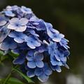 Photos: 水辺に咲く紫陽花 in 白滝公園