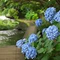 水辺に咲く紫陽花~皆してお出迎え