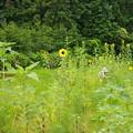 Photos: お婆ちゃんのヒマワリ畑