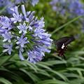 Photos: アガパンサスにアゲハチョウ