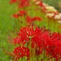 赤色・白色・曼珠沙華