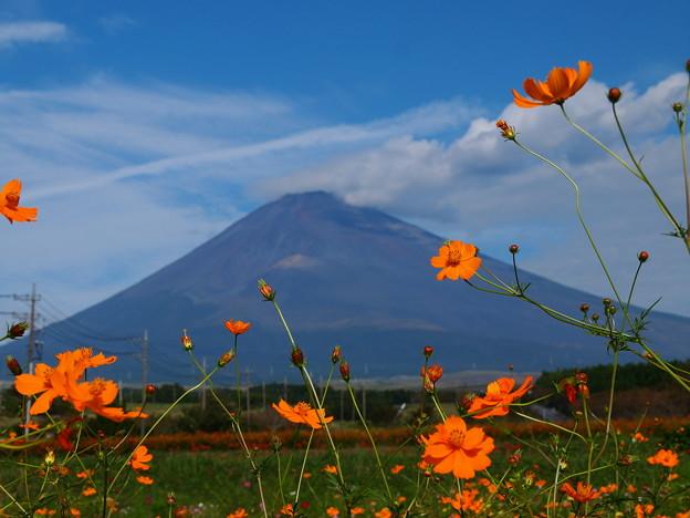 富士の御山に黄花秋桜