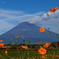 Photos: 富士の御山に黄花秋桜