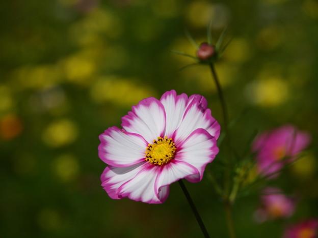 Photos: 白とピンクのお顔