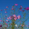 秋の青空と秋桜と