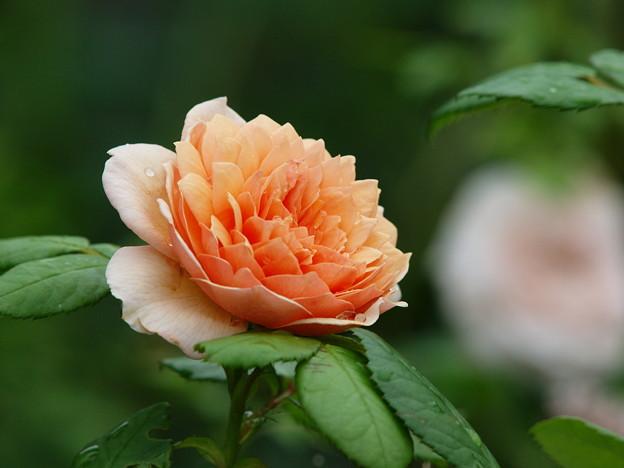 秋の香り in ローズガーデン