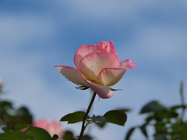 恋する秋薔薇