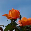 秋の空を仰ぐ秋薔薇
