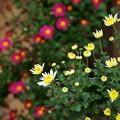 可愛らしく、こじんまりと咲く