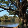 湖畔の大樹は