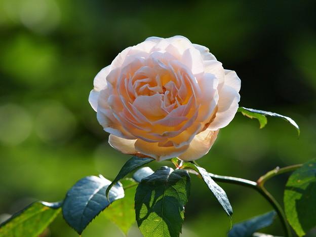 小春日和の秋薔薇