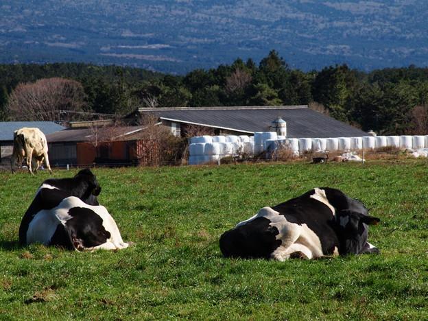牛さんは寝ている…