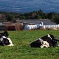 Photos: 牛さんは寝ている…