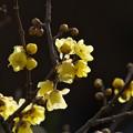 Photos: 蝋梅の香る頃