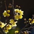 新春の陽光を浴びて香る蝋梅