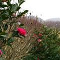 Photos: 雪降る中に咲く