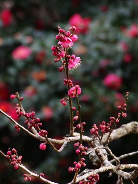 熱海梅園は三分咲き -b
