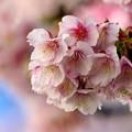 Photos: 熱海桜は撮り頃・見頃