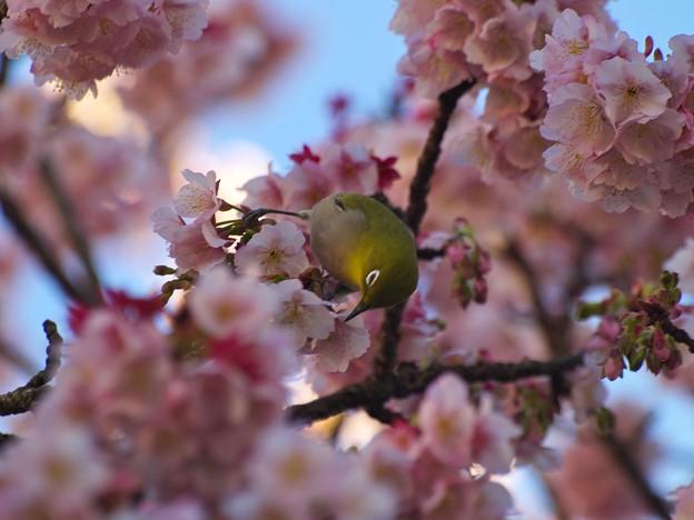 令和最初の桜ジロ