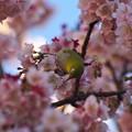 Photos: 令和最初の桜ジロ