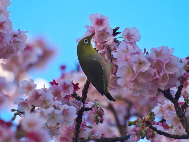 熱海の桜ジロ