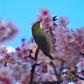 Photos: 熱海の桜ジロ