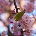 早咲き桜を貪るメジロ