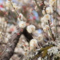 古樹に咲く白梅