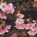 令和最初の河津桜