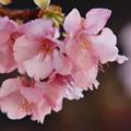 令和の時代の河津桜