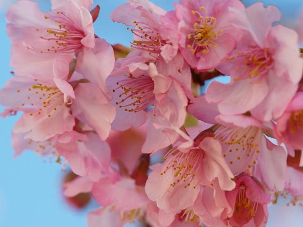 早春の青空と河津桜と