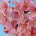 Photos: 早春の青空と河津桜と
