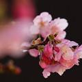 Photos: 令和の時代に咲く河津桜